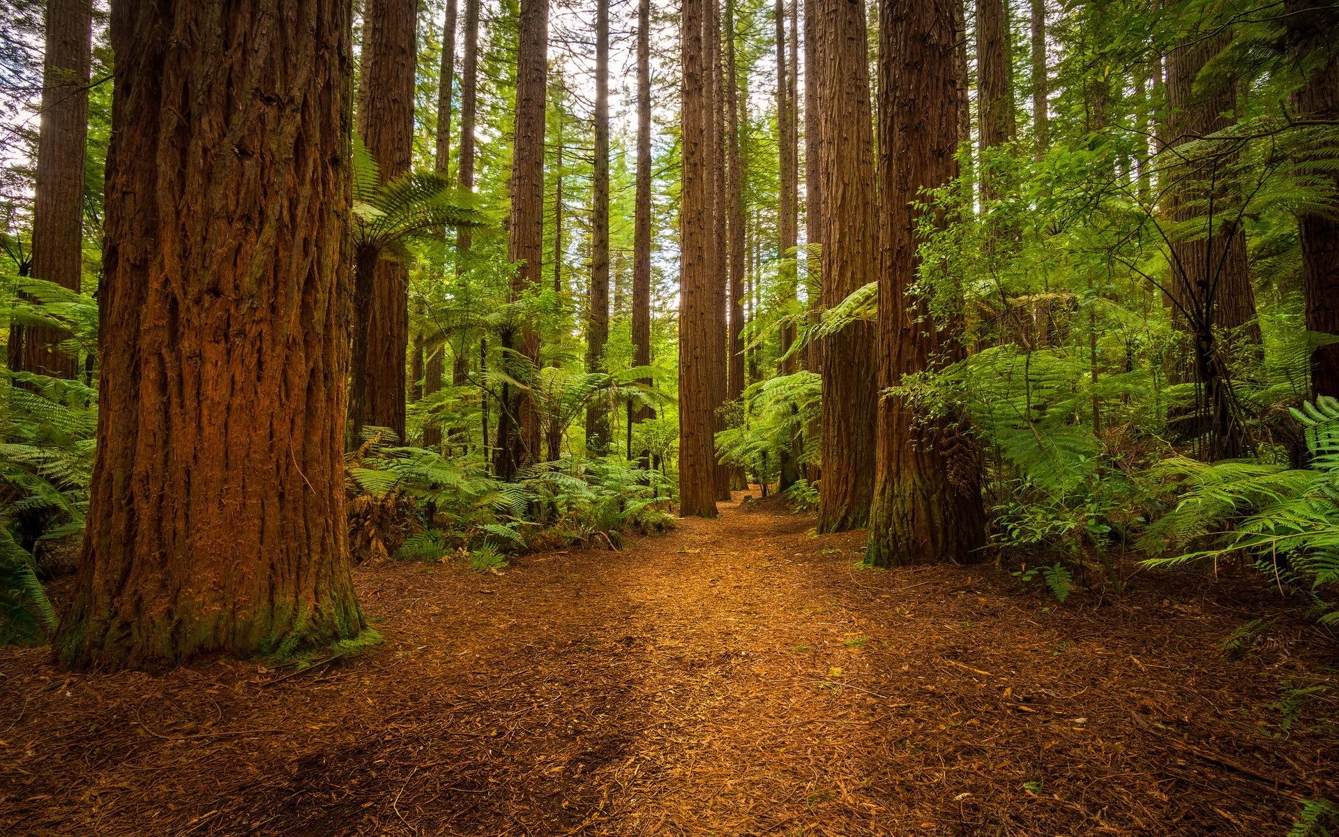 Сосновый лес картинки